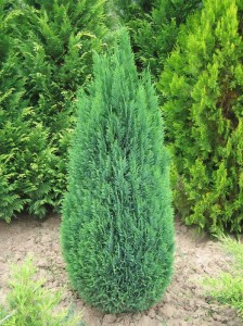 CHAMAECIPARIS LAWSONIANA GREEN PILAR