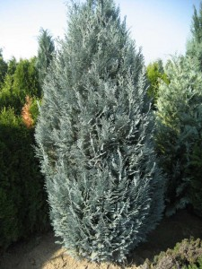 CHAMAECYPARIS LAWSONIANA VAN PELTS BLUE