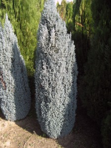 CHAMAECYPPARIS LAWSONIANA BLUE SURPRISE