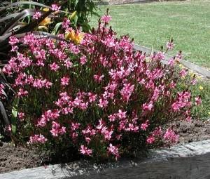 Gaura lindheimeri Gambit pink