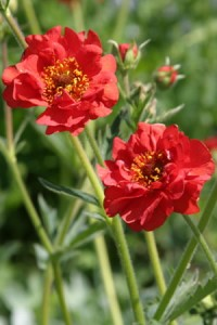 Geum chilosnse Feuerball