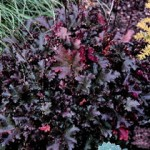 HEUCHERA HYBRIDA CHOCOLATE RHUFFLES