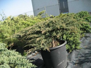 JUNIPERUS   GREEN CARPET