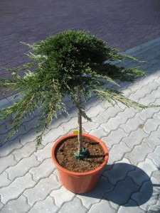 JUNIPERUS HOR.PRINCE OF WELLES