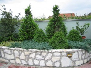 JUNIPERUS HORISONTALIS BLUE CHIP