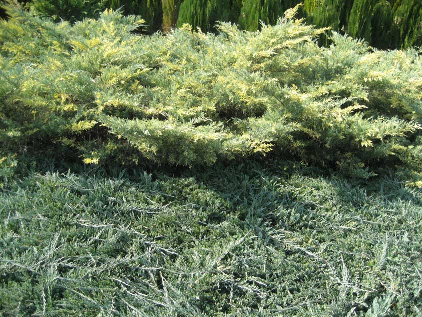 JUNIPERUS MEDIA BLUE AND GOLD