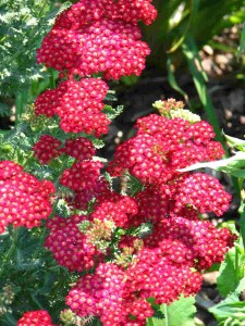 Achilea milefolium Paprika