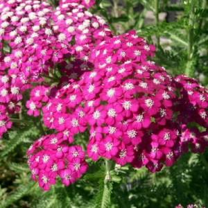 Achilea milefolium Rosea