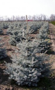 PICEA PUNGENS EDITH
