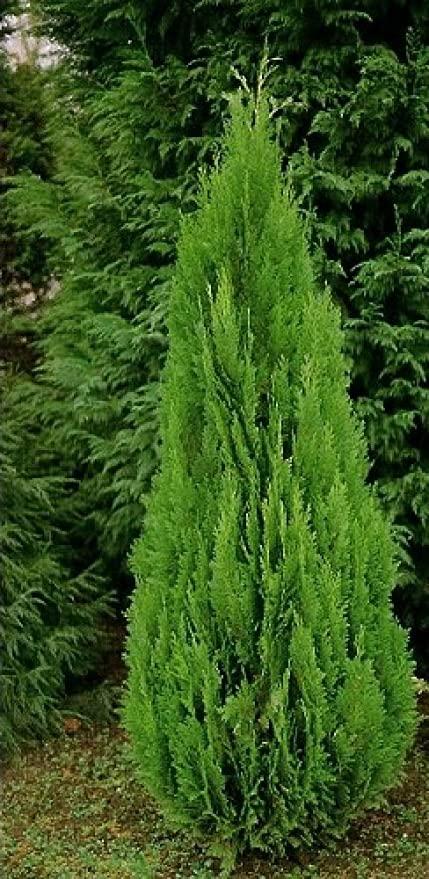 CHAMAECIPARIS LAWSONIANA GREEN PILAR