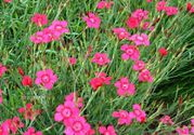 Dianthus deltoides Cofetti Tiefrot