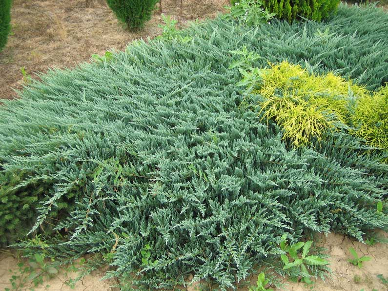JUNIPERUS HORIZONTALIS BLUE CHIP