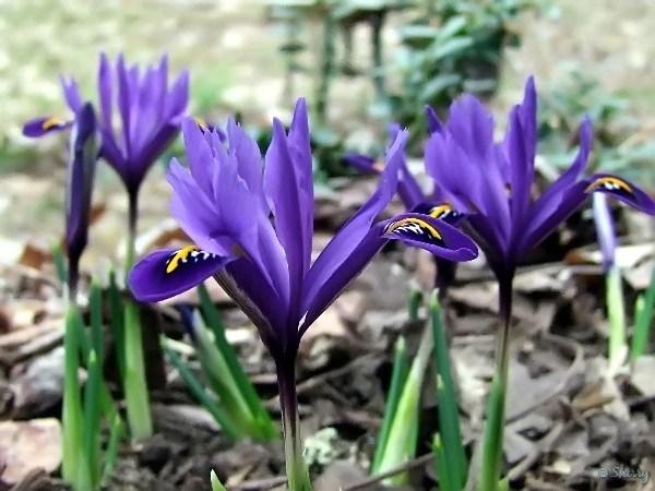 iris mini