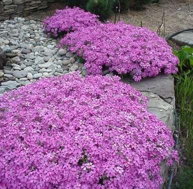 Plox subulata Moss pink