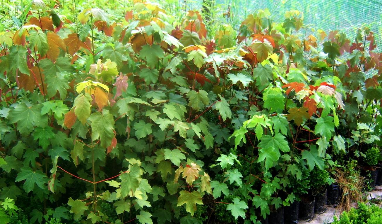 Lišćari – Drvenaste ukrasne biljke